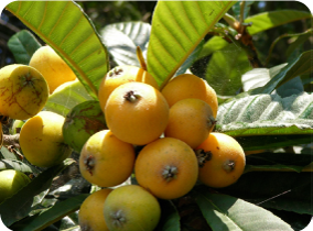 Haibara Loquat Orchard