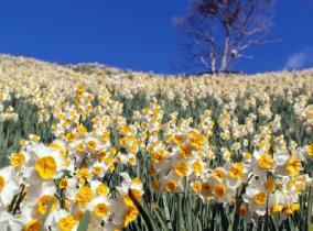 Nadakuroiwa Narcissus Park
